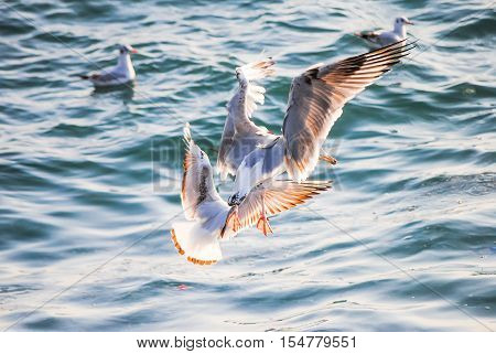 Gulls Fishing Near The Shore Of The Bosporus. Turkey, Istanbul.