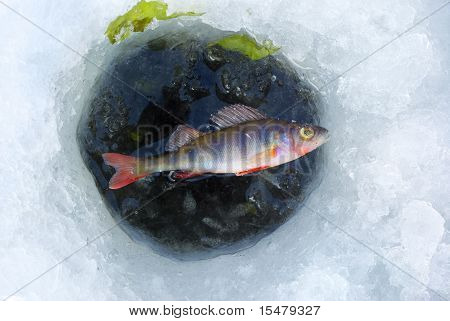 perch fish in ice hole