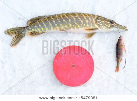 pike on the ice