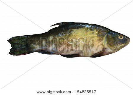 Freshwater fish that you catch in the lakes. One tench fish isolated on white background .Freshly caught fish.The view from the top.
