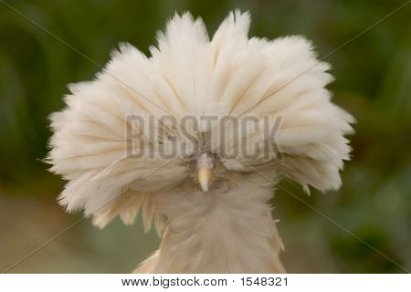 Close Up Isolated Photo Of Buff Polish Chicken Face