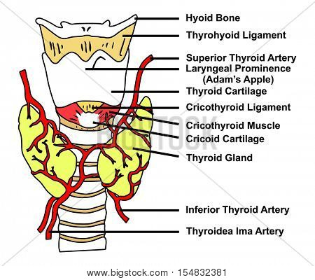 Vector - Thyroid Gland Anatomical Structure & Arteries Supply - Diagram of all parts: Hyoid Bone, Thyrohyoid Ligament, Cricothyroid Muscle, Cricoid Cartilage, Adam Apple, Thyroidea Ima Artery