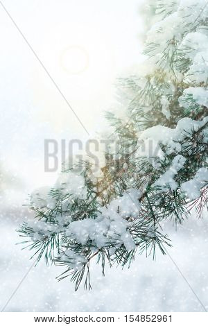 The image of pine tree's branch