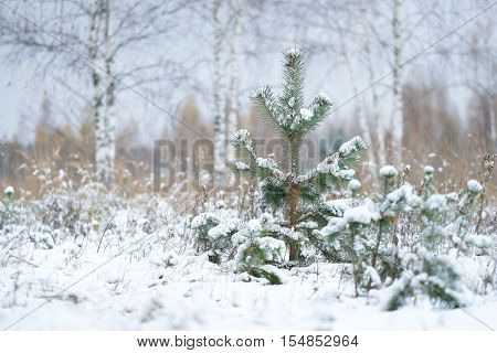 The image of pine trees in a wood