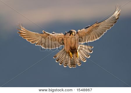 Lanner Falcon Landung