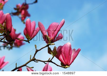 Rojo Magnolia flores