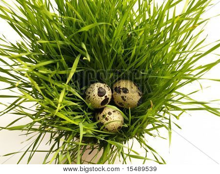Quail Eggs In The Grass Nest