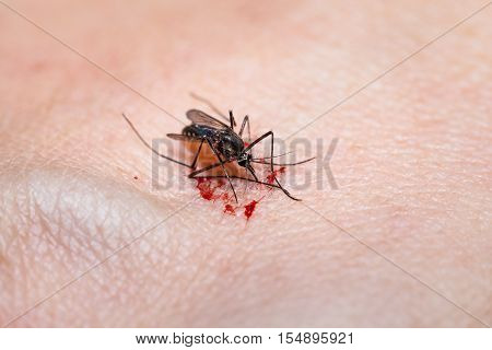 Closeup of killed mosquito with lots of blood. Mosquito feeds on the blood of the human body.