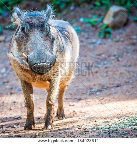wart hog portrait looking straight at camera
