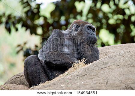 a gorilla sitting on a rock thinking