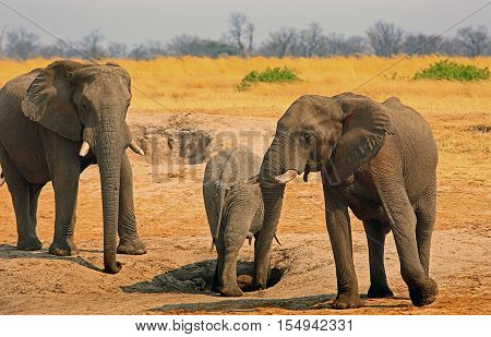 Elephants standing on the dusty plains in Hwange national Park