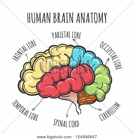 Main parts of the human brain. Human Brain in sketch style. Vector ...