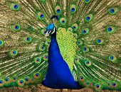 stock photo of female peacock  - Peacock showing its colors to attract a female good color - JPG
