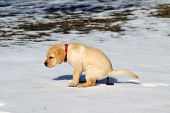 stock photo of feces  - Cute AKC Labrador Retriever puppy going to the bathroom - JPG