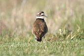 foto of killdeer  - killdeer bird looking backwards - JPG