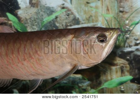 Silver Arowana Fish (Half Body).