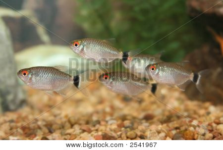 School Of Red Eye Tetra Fish.