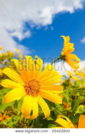 Mexican Sunflower Weed