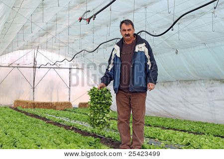 Organic Farmer In Greenhouse