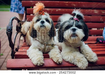 poster of Decorative Breed Dogs. Small Domestic Dog. Dog Under The Bed Hides.japanese Hin Dog