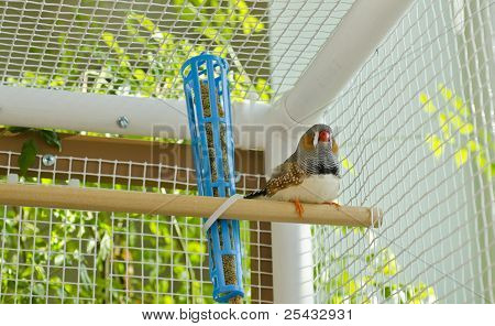 One Male Finch Sitting on a Perch