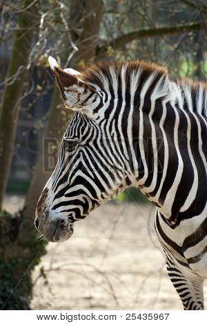Zebra, Paticular