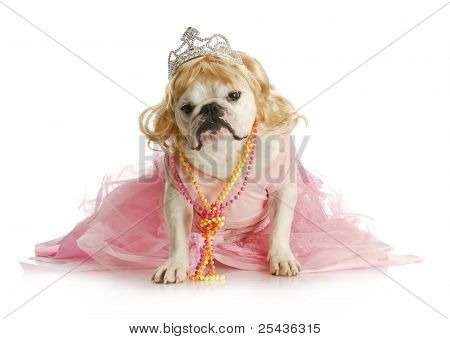 spoiled female dog  - english bulldog dressed like a princess on white background