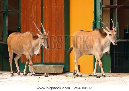 Two Eland Antelope in the zoo