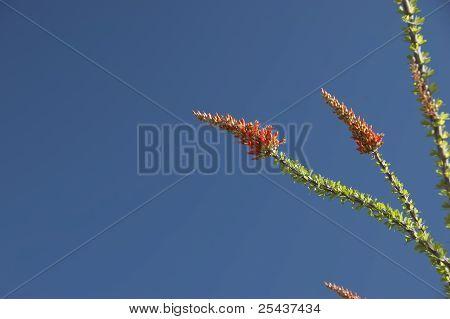 Floração Ocotillo ramos