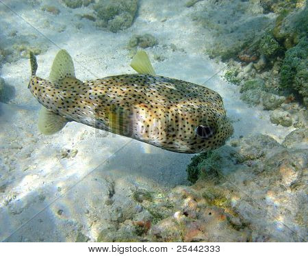 Underwater shot of a puffer fish. Maldives, Indian Ocean.
