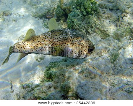 Underwater shot of a puffer fish. Maldives, Indian Ocean.