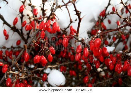 Berries Under Snow