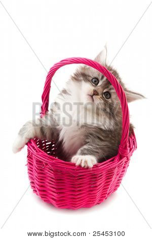Young Main Coon kitten in pink basket