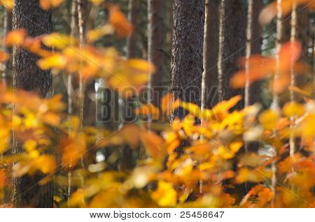 Autumnal oak leaves and pine logs
