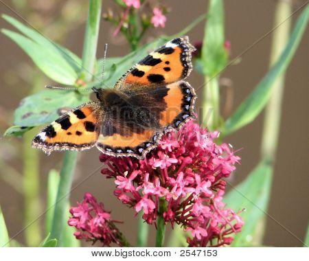 schildpatt Schmetterling