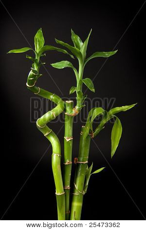 Lucky bamboo plant (Dracaena sanderiana) against dark background