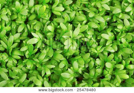 Fresh green cress close-up