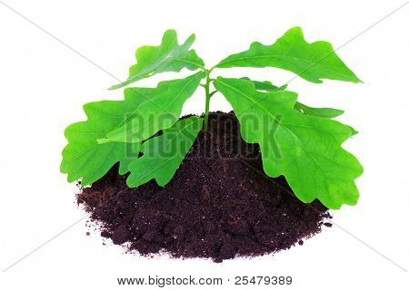 Young oak tree isolated on white background