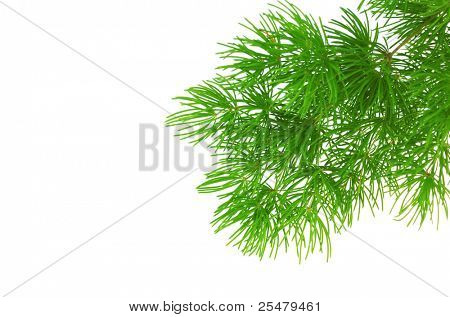 Branch of larch isolated on white background