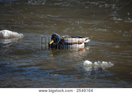 Lone Mallard Duck