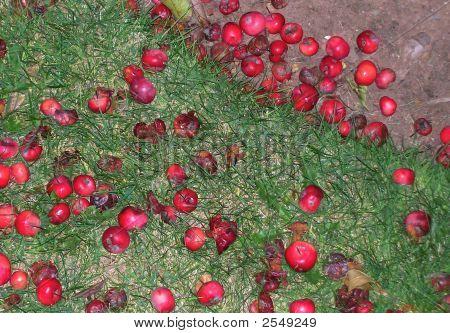 Apples Fallen