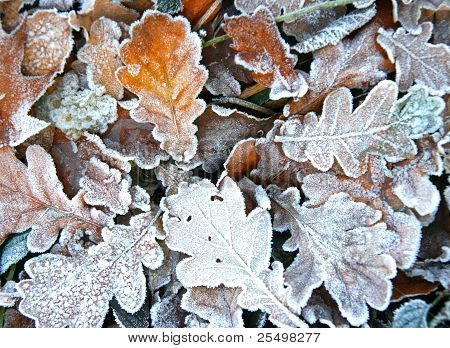 Fallen autumn frozen leaves