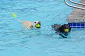 White Golden Labrador Retriever Crossbreed And Black Labrador Retriever Swimming With Tennis Balls I poster
