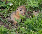 foto of gopher  - Family gophers on the green grass summer day - JPG