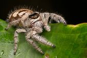 Close-up Of Jumping Spider , Jumping Spider Of Borneo , Jumping Spider , Beautiful Jumping Spider poster