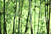 image of bamboo forest  - bamboo - JPG