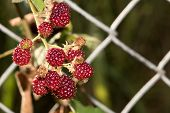 Blackberries On A Branch In The Garden.  Ripe Red, Black And Pur. Red Blackberries On A Branch. poster