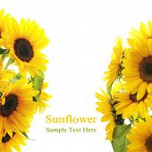 stock photo of sunflower  - Sunflower Frame  - JPG