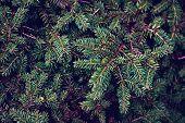 Background Of Fir Branches. Branch, Fir, Decoration, Pine poster