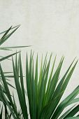 Southern Palm Or Dracaena Against A White Textured Wall. Southern Vegetation, Botany poster